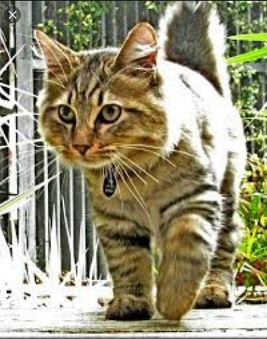Temperament and Personality of an American Bobtail Cat (simple-wikipedia.com)