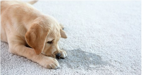Housetraining Your Puppy (petcoach.co)
