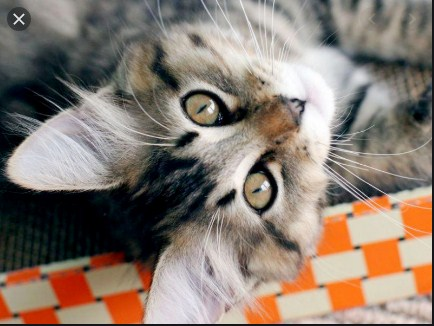 How much do American bobtail cats cost (romawiki.com)
