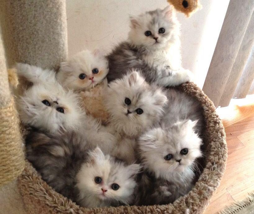 Teacup Persian Kittens For Sale Uk