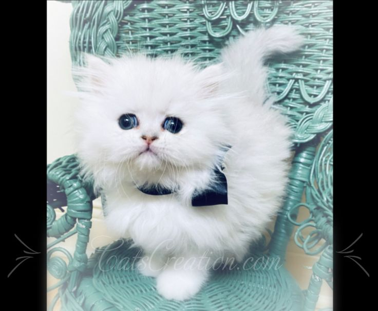 Persian Cats For Sale Florida