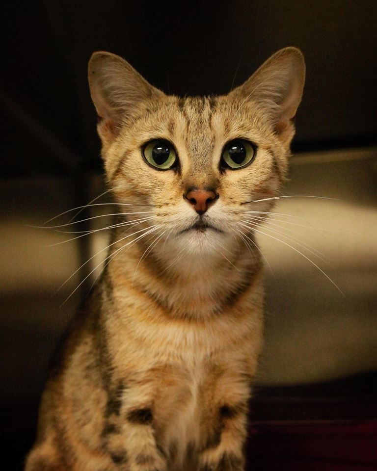 Bengal Kittens For Adoption In Mn