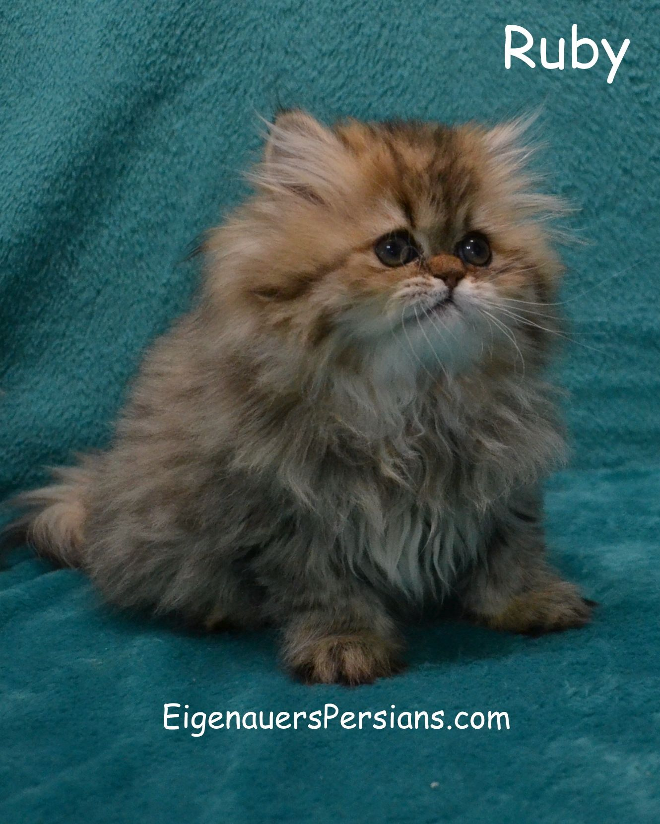 Persian Kittens For Sale In Wisconsin