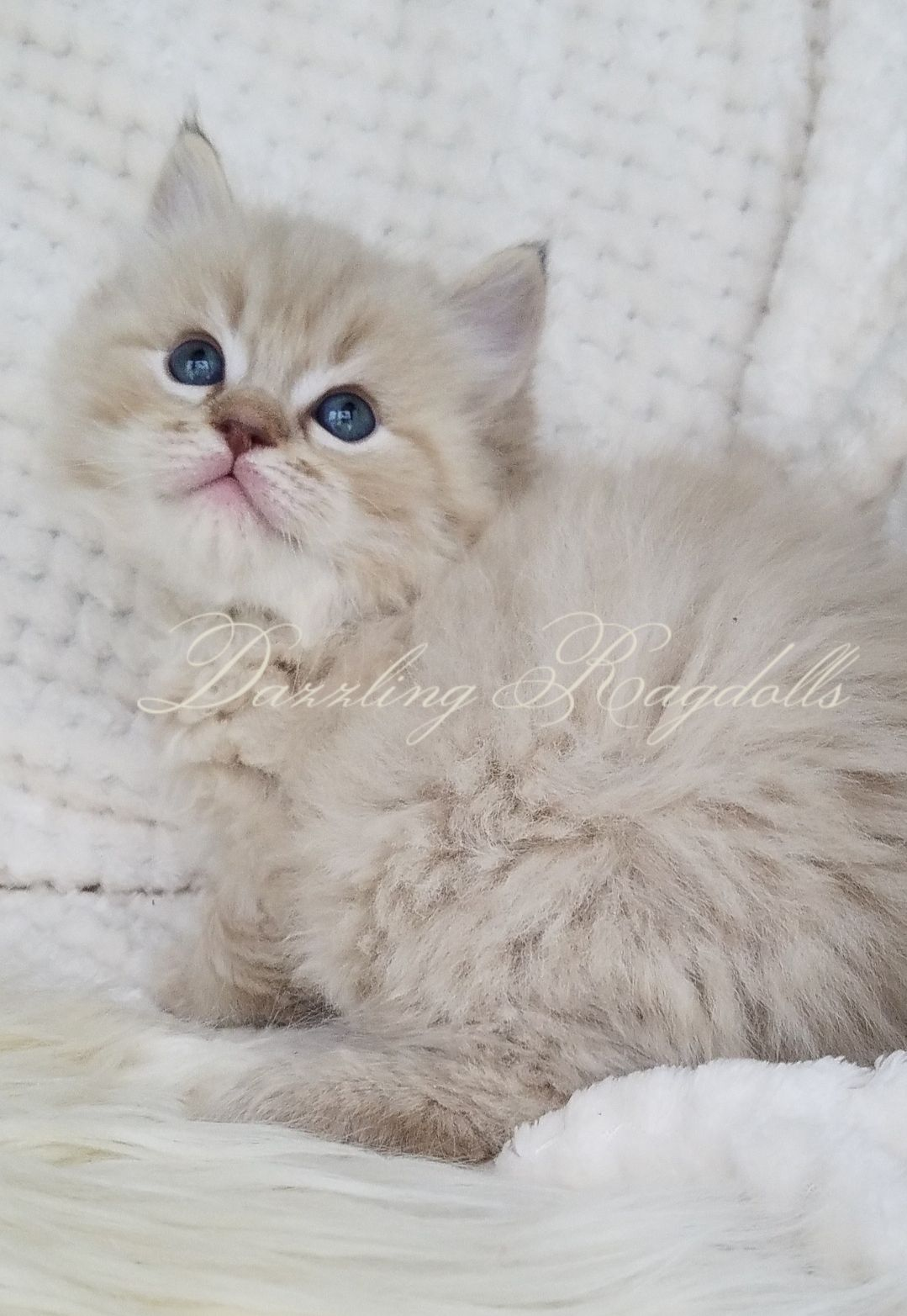 Persian Kittens For Sale In Maryland