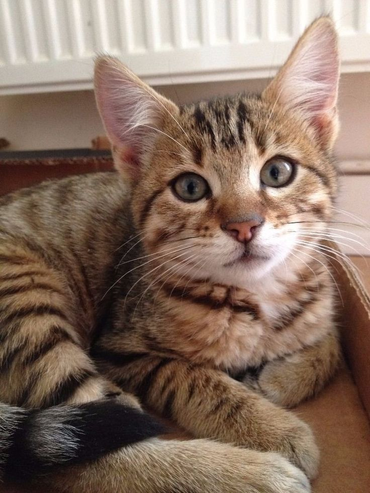 How Much Is A Bengal Kitten Worth