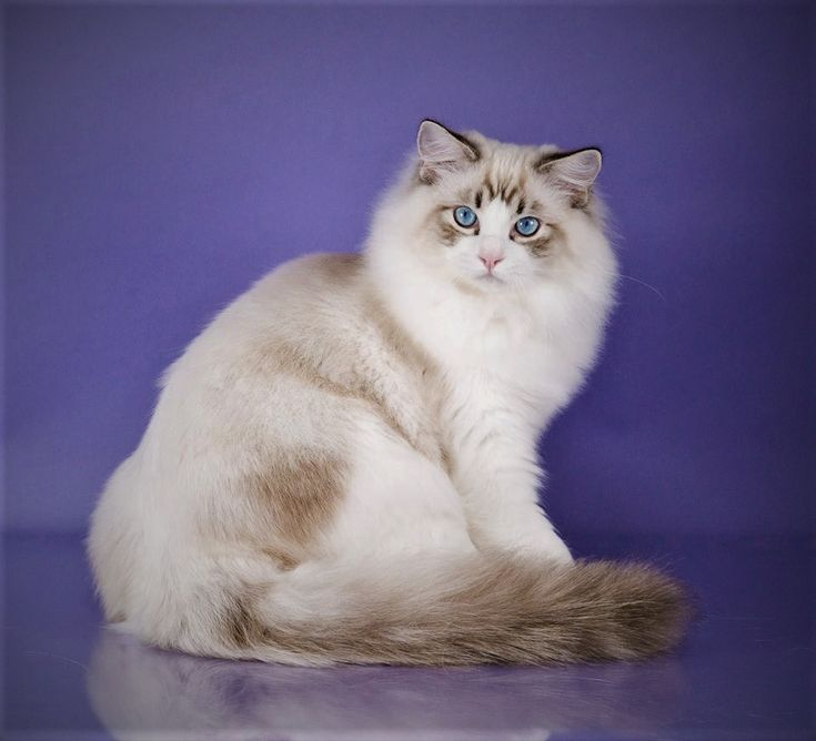 Ragdoll Kittens For Sale In Nc Sc And Tn