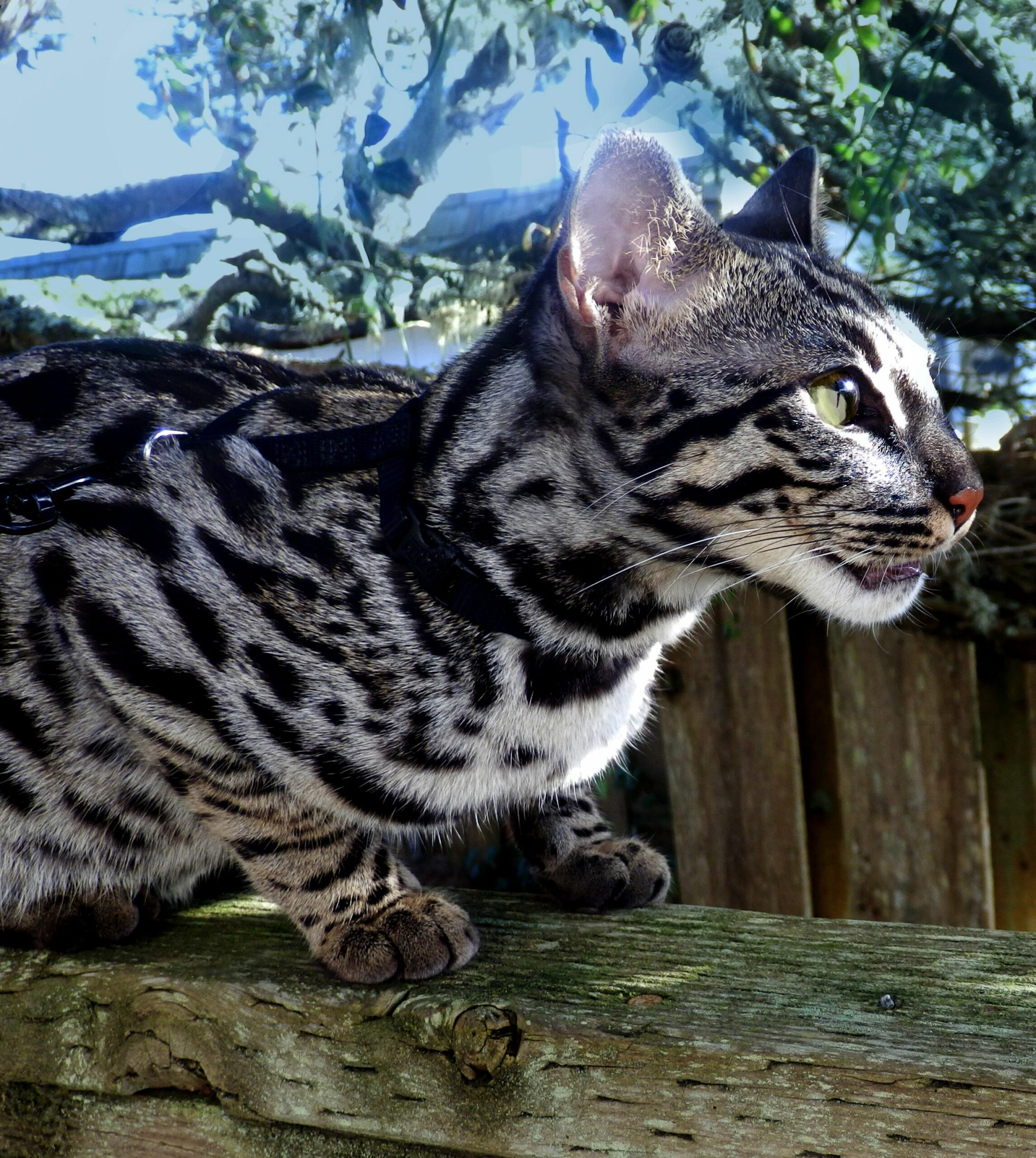 How Much Is A Silver Bengal Kitten