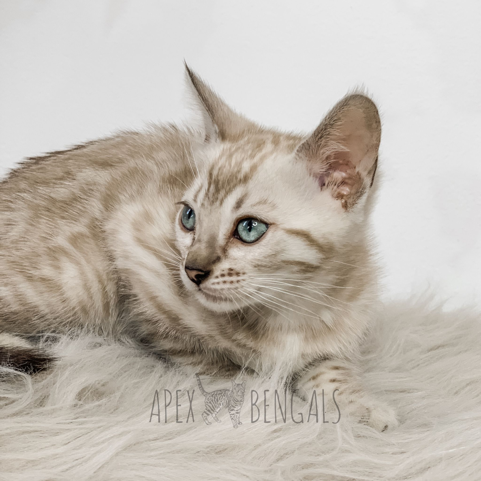 Snowshoe Siamese Kittens For Sale Florida