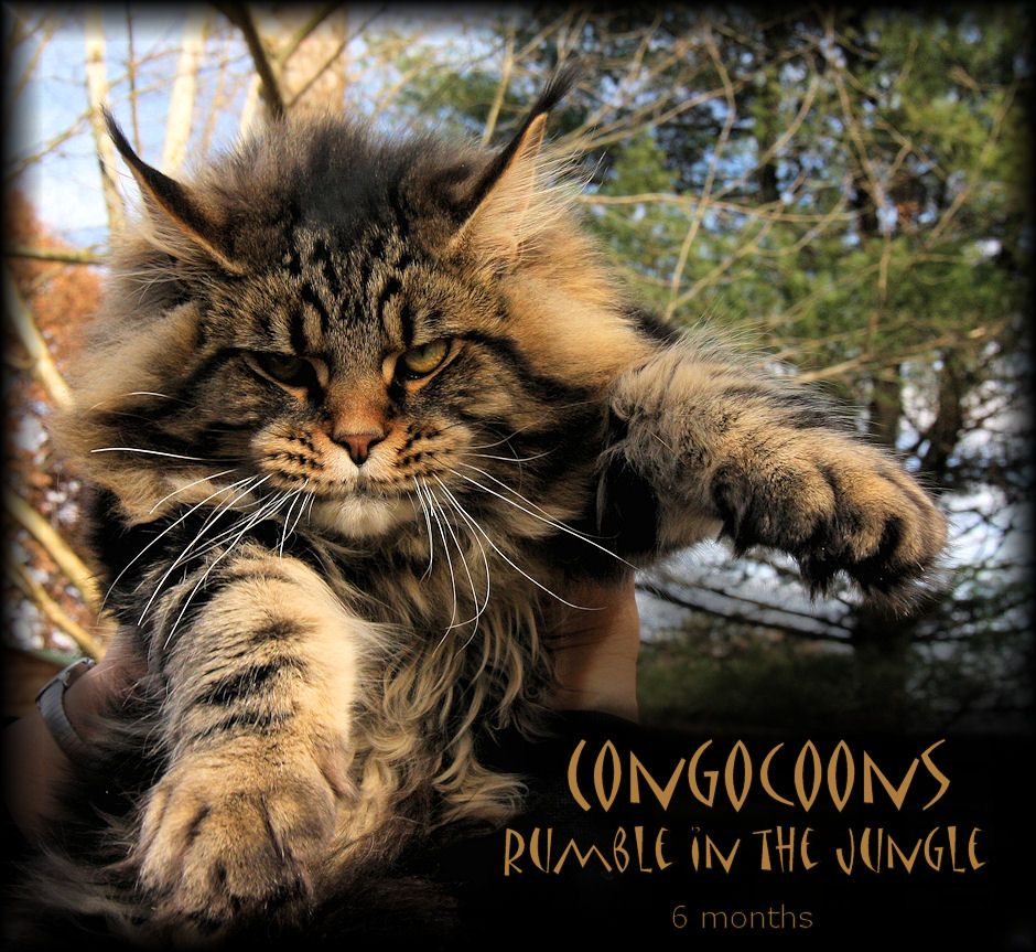 Maine Coon Kittens For Sale In Pennsylvania