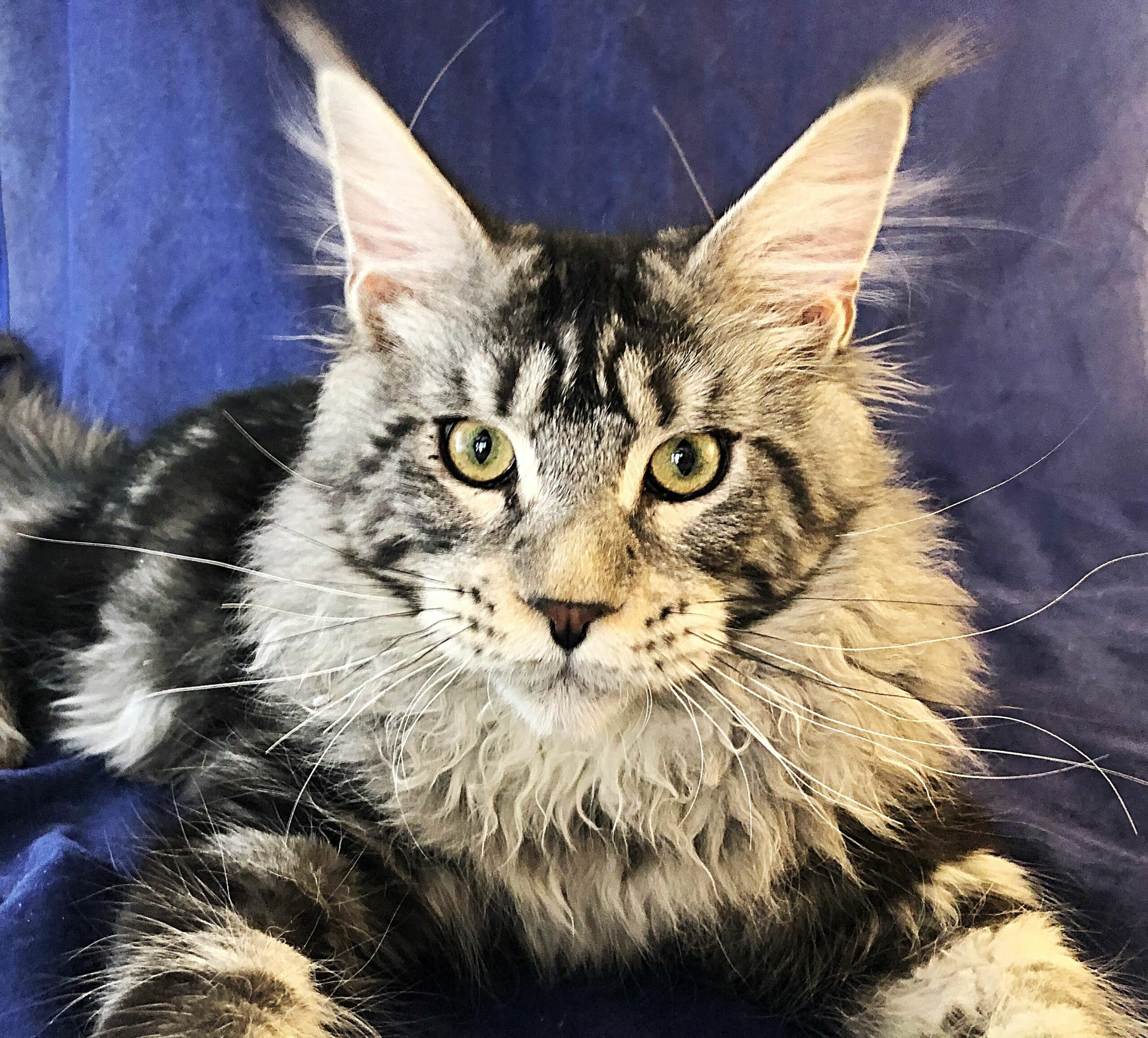 Maine Coon Cats For Sale California