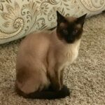 Siamese Kittens For Sale In Pa
