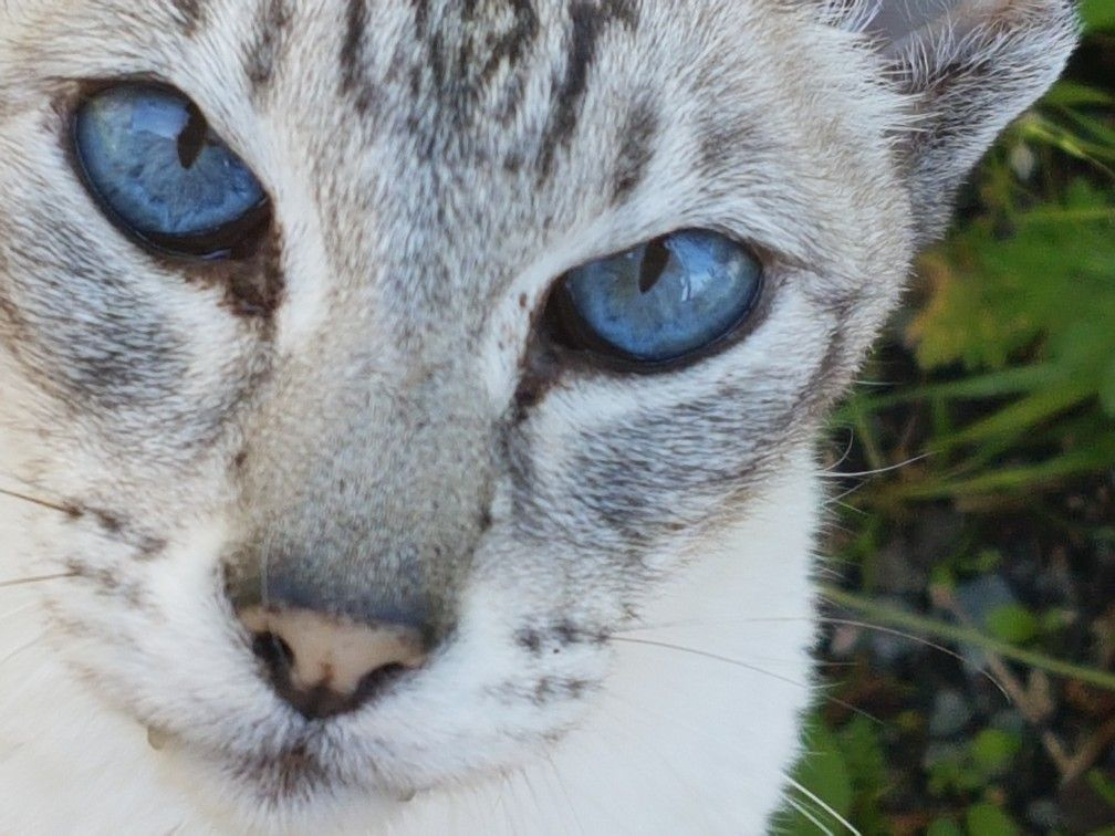 How Much Are Lynx Point Siamese Cats Worth