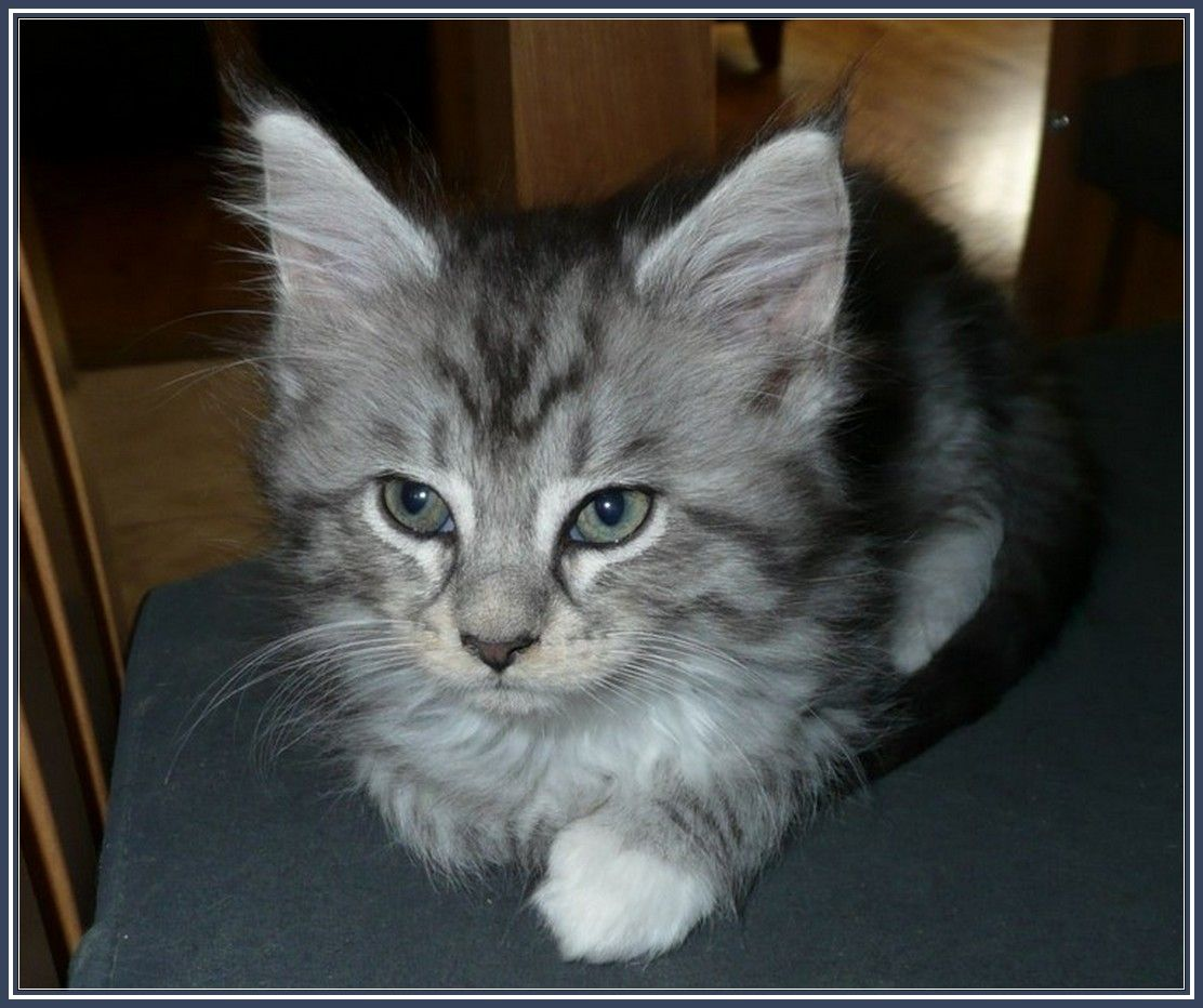 Maine Coon Kittens For Adoption In Ohio