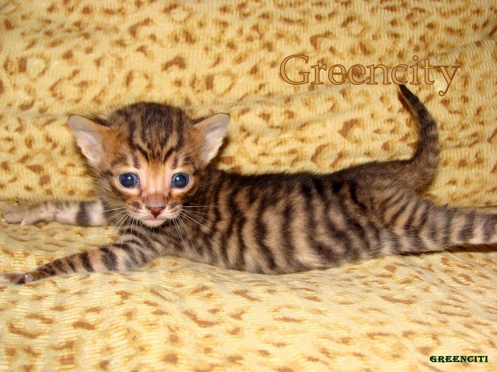 Maine Coon Kittens For Sale Charleston Sc