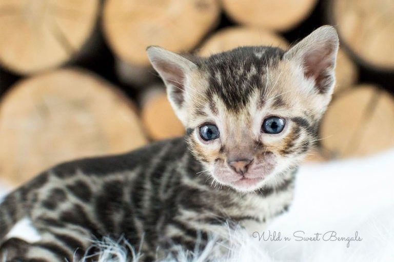 Bengal Kittens For Sale No Papers