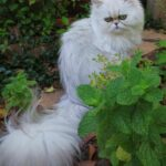 Persian Kittens For Sale Bay Area