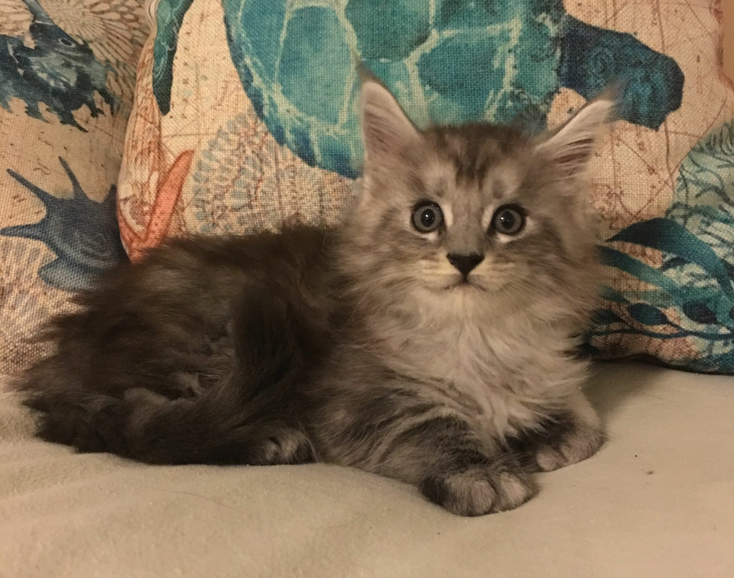 How Much Are Maine Coon Cats To Buy