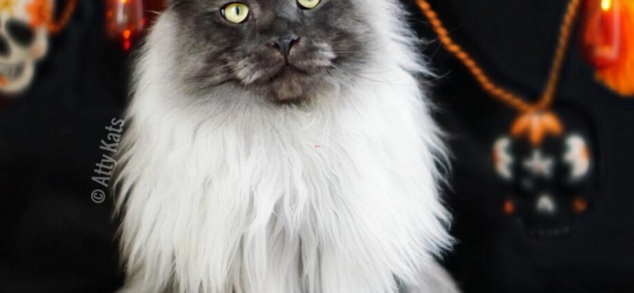 Maine Coon Kittens For Sale Tampa Fl