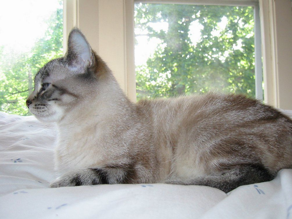 Snowshoe Siamese Kittens For Sale In Pa