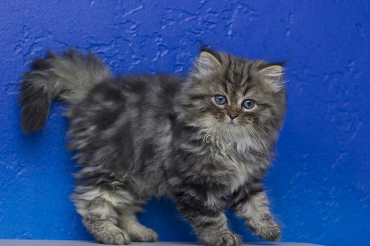 Long Haired Kittens For Sale Near Me
