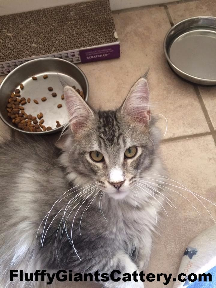 Maine Coon Kittens Available Michigan