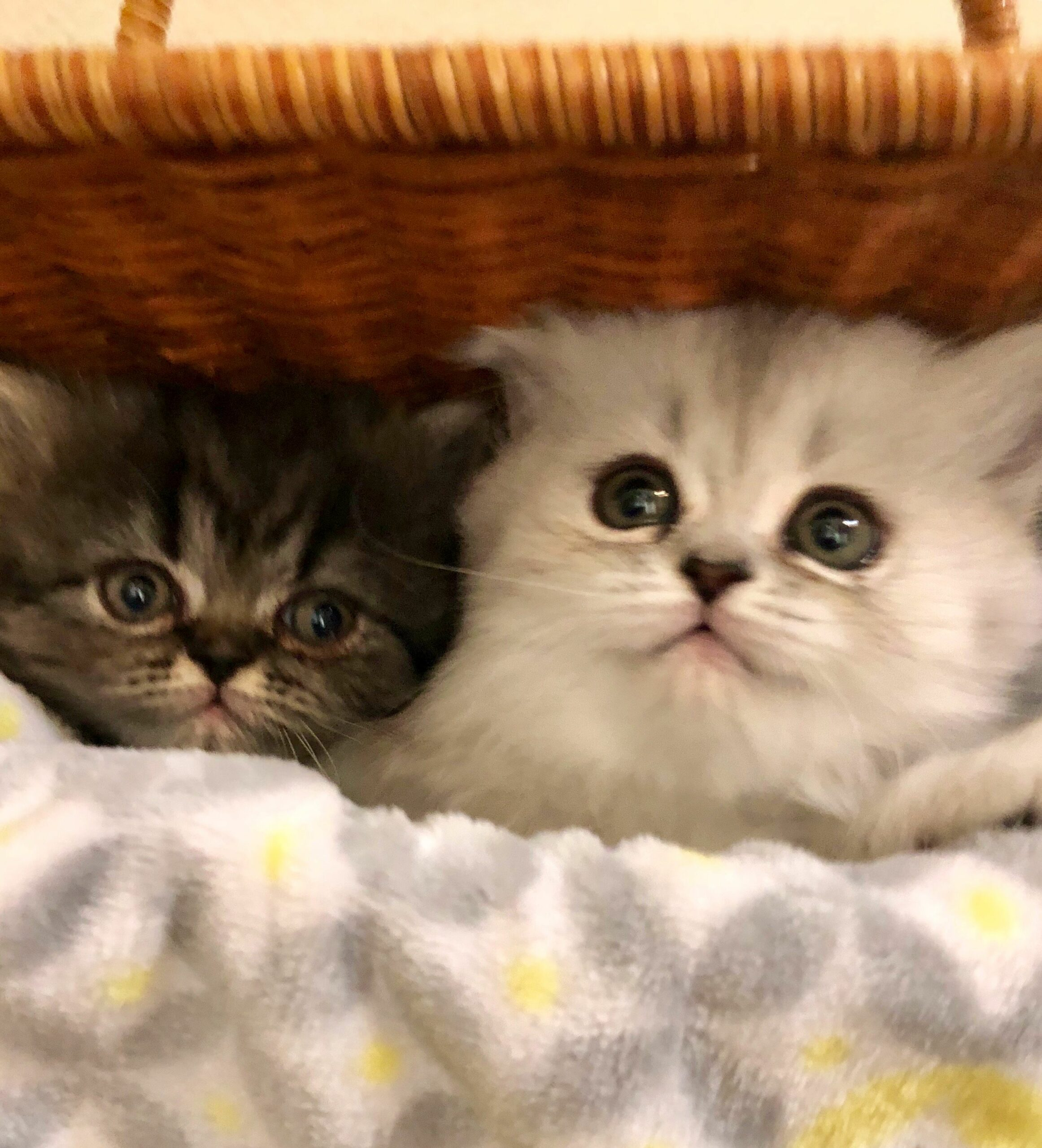 Persian Kittens For Sale In Baltimore Md