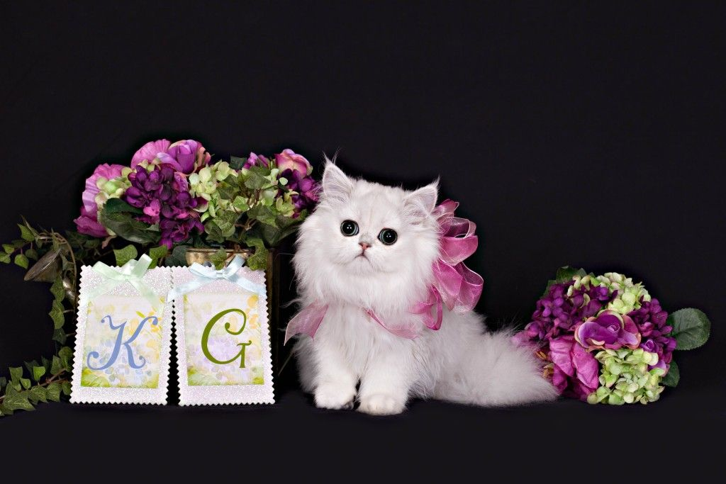Persian Kittens For Sale In Michigan