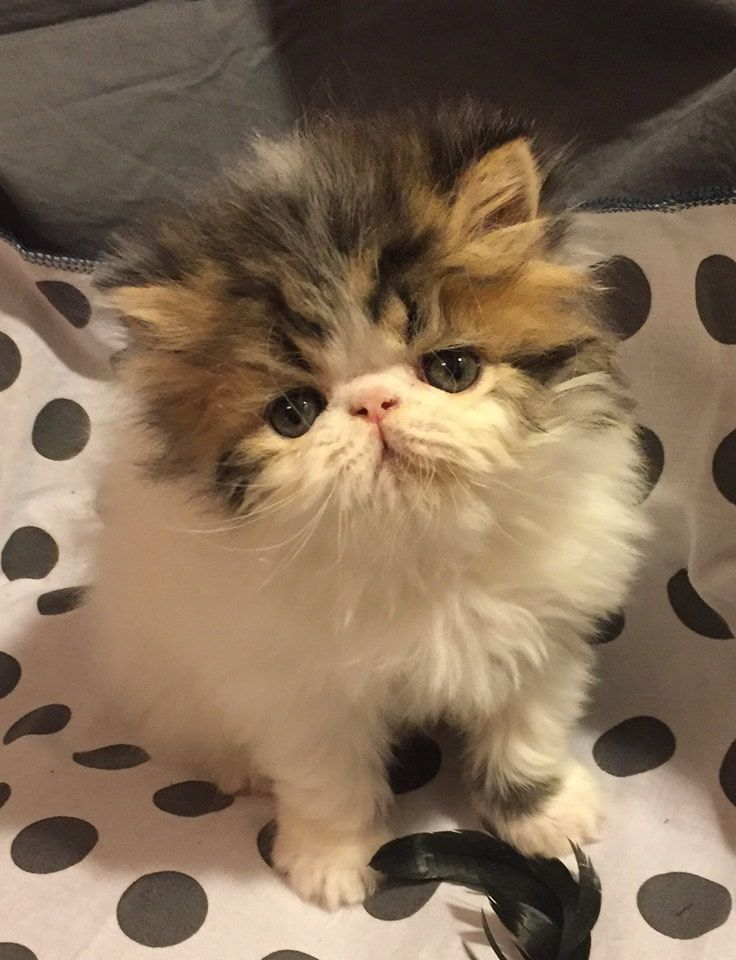 Persian Kittens For Sale Chicago