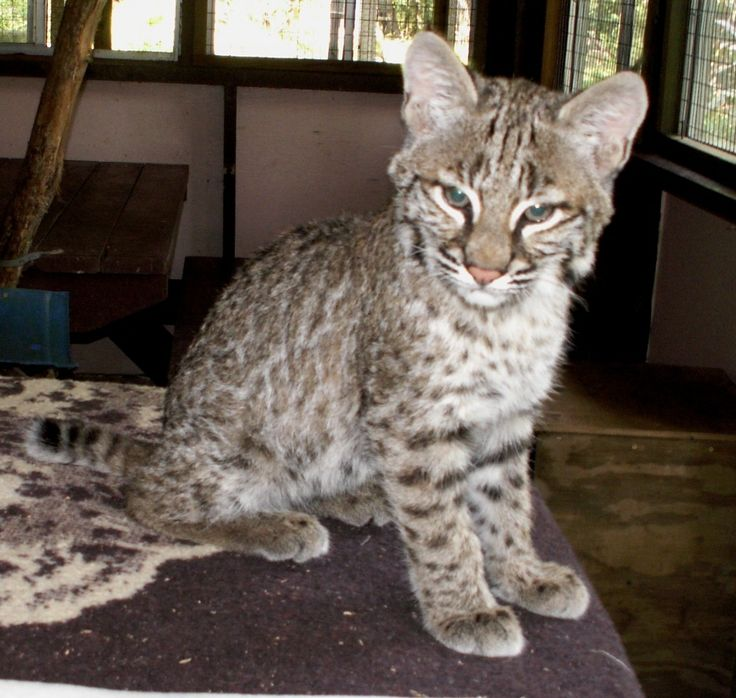 Bobcat Kittens For Sale Canada