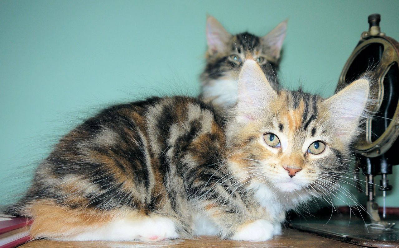 Maine Coon Kittens For Sale In Il