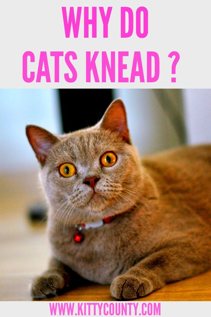 Why Do Kittens Knead You
