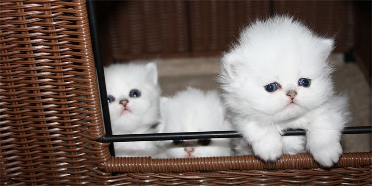 Persian Kittens For Sale Orlando
