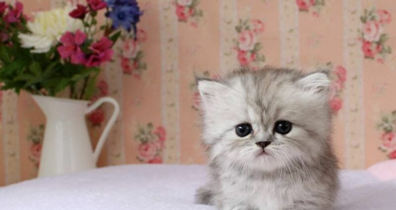 Teacup Persian Kittens For Sale Ontario