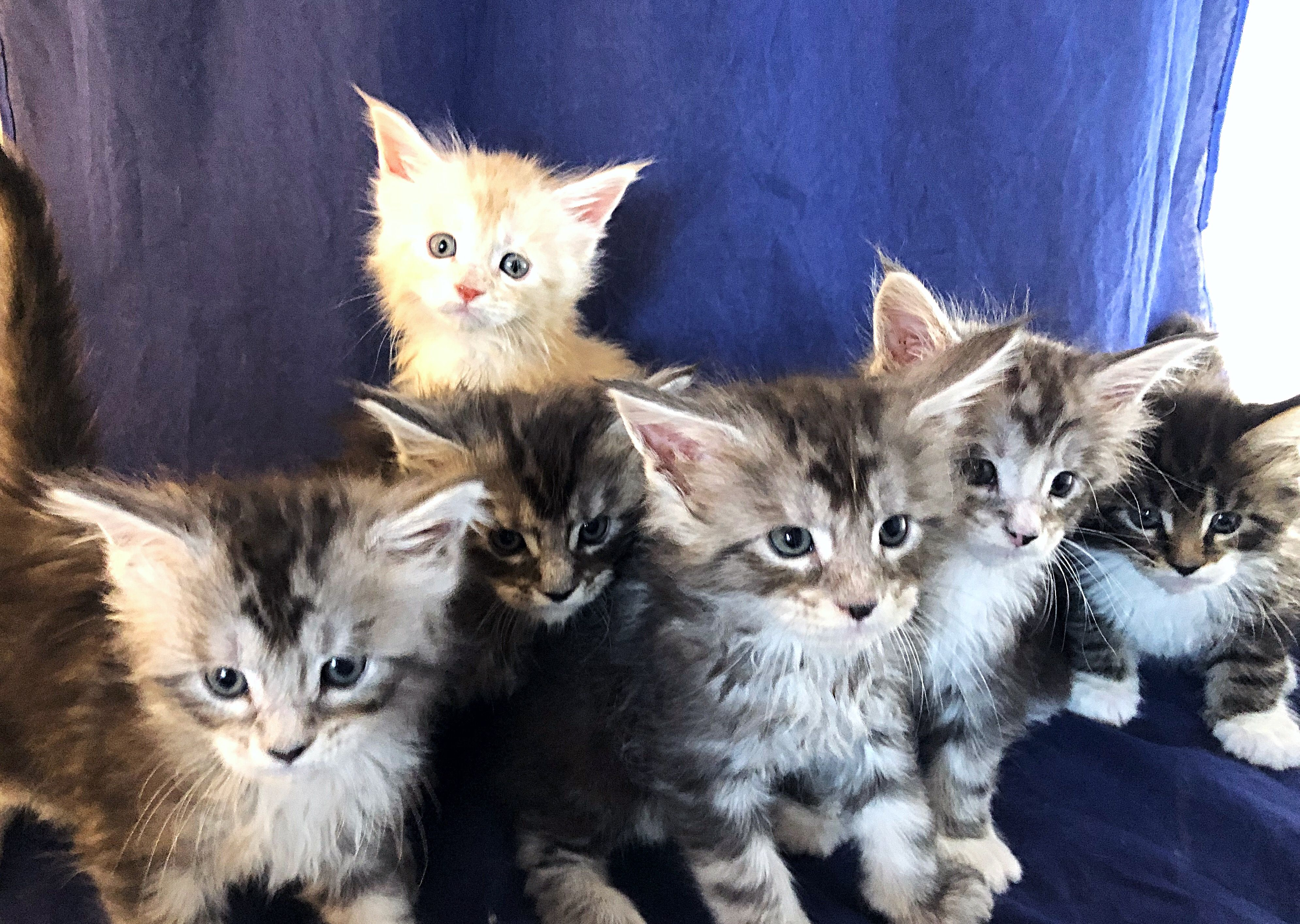 Maine Coon Mix Kittens For Sale In Virginia