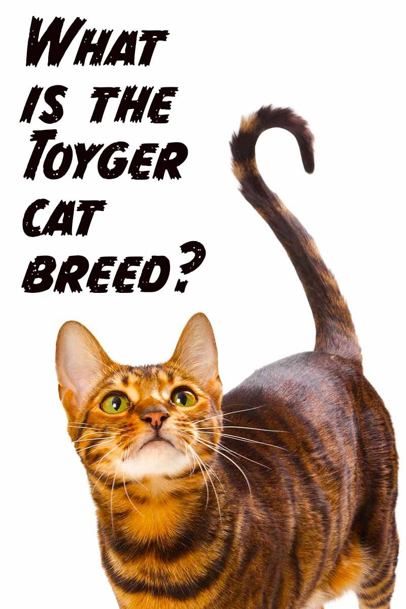 How Much Do Toyger Cats Cost