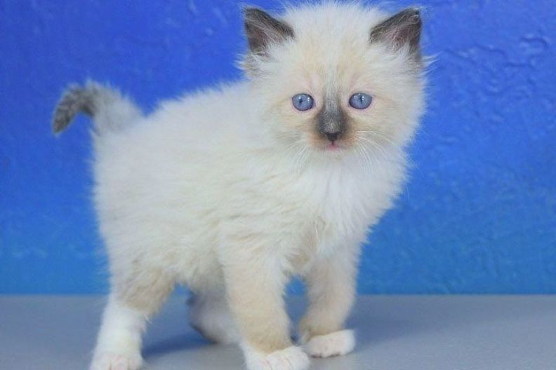 Siamese Kittens For Sale In Baltimore Md