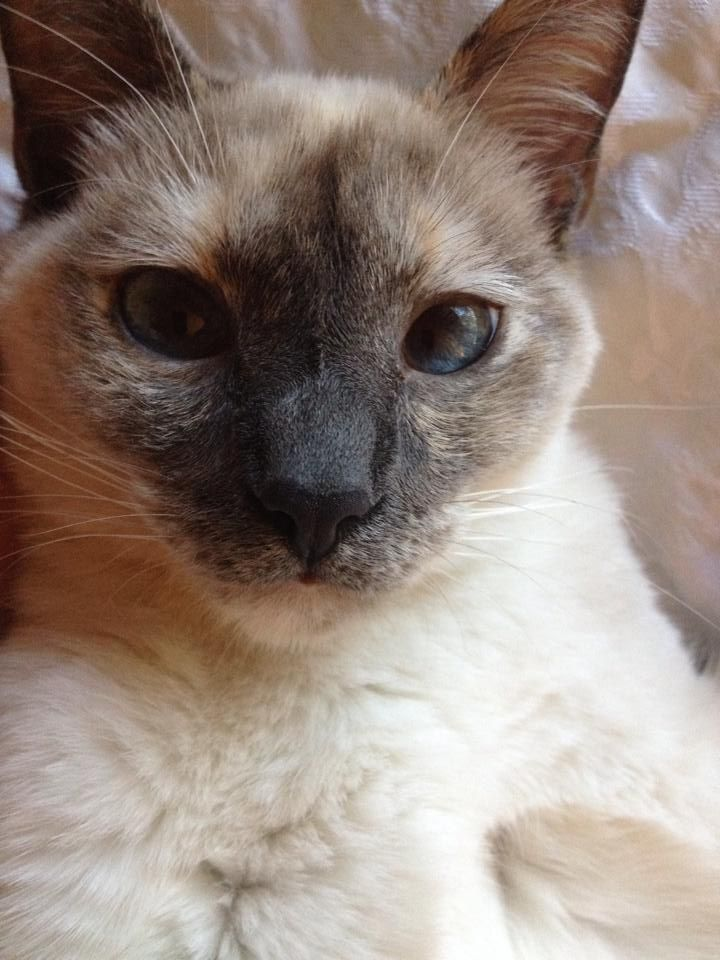 How Much Are Siamese Kittens Worth
