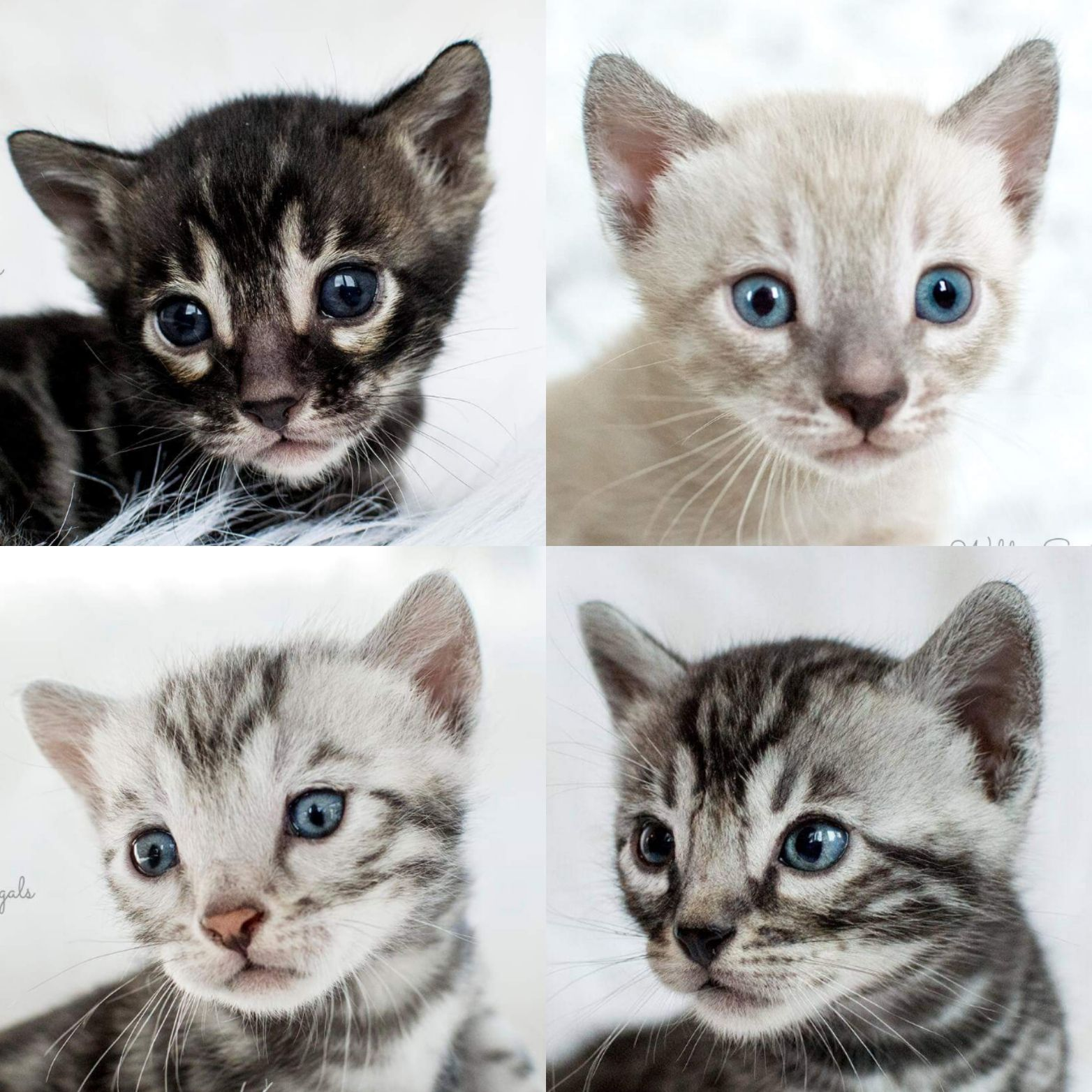 Snow Bengal Kittens For Sale Near Me