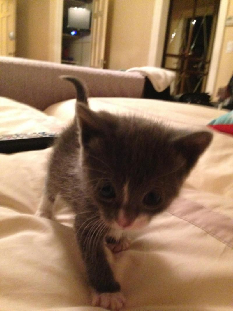 Russian Blue Kittens For Adoption Nyc