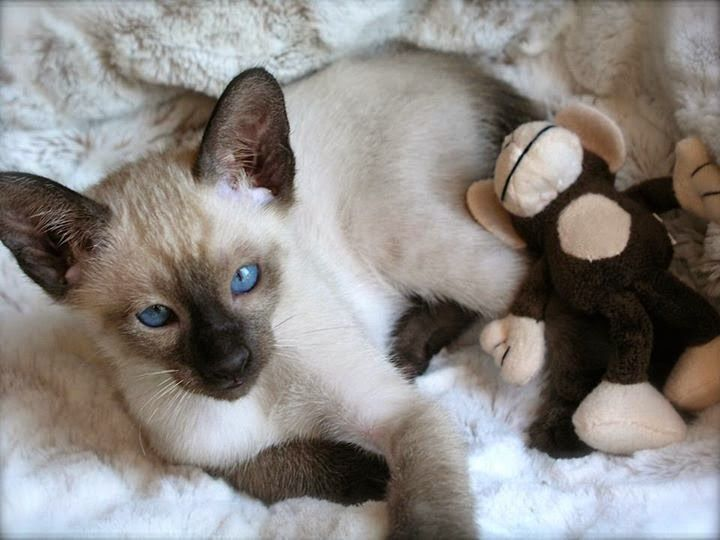 Seal Point Siamese Kittens For Adoption