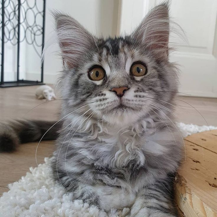 Large Maine Coon Kittens For Sale Michigan