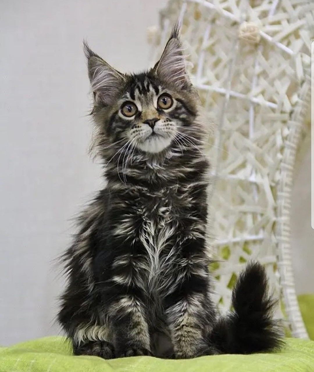 Maine Coon Kittens For Adoption Near Me