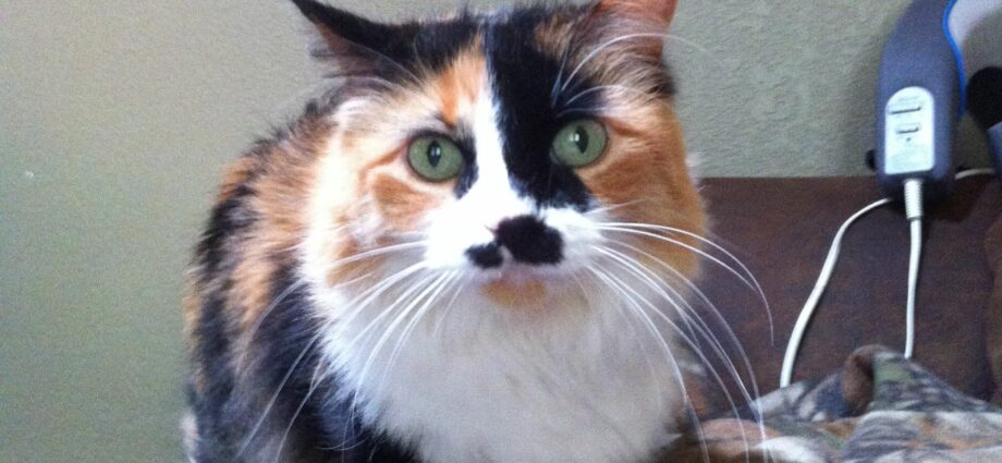 Where Can I Buy A Calico Cat