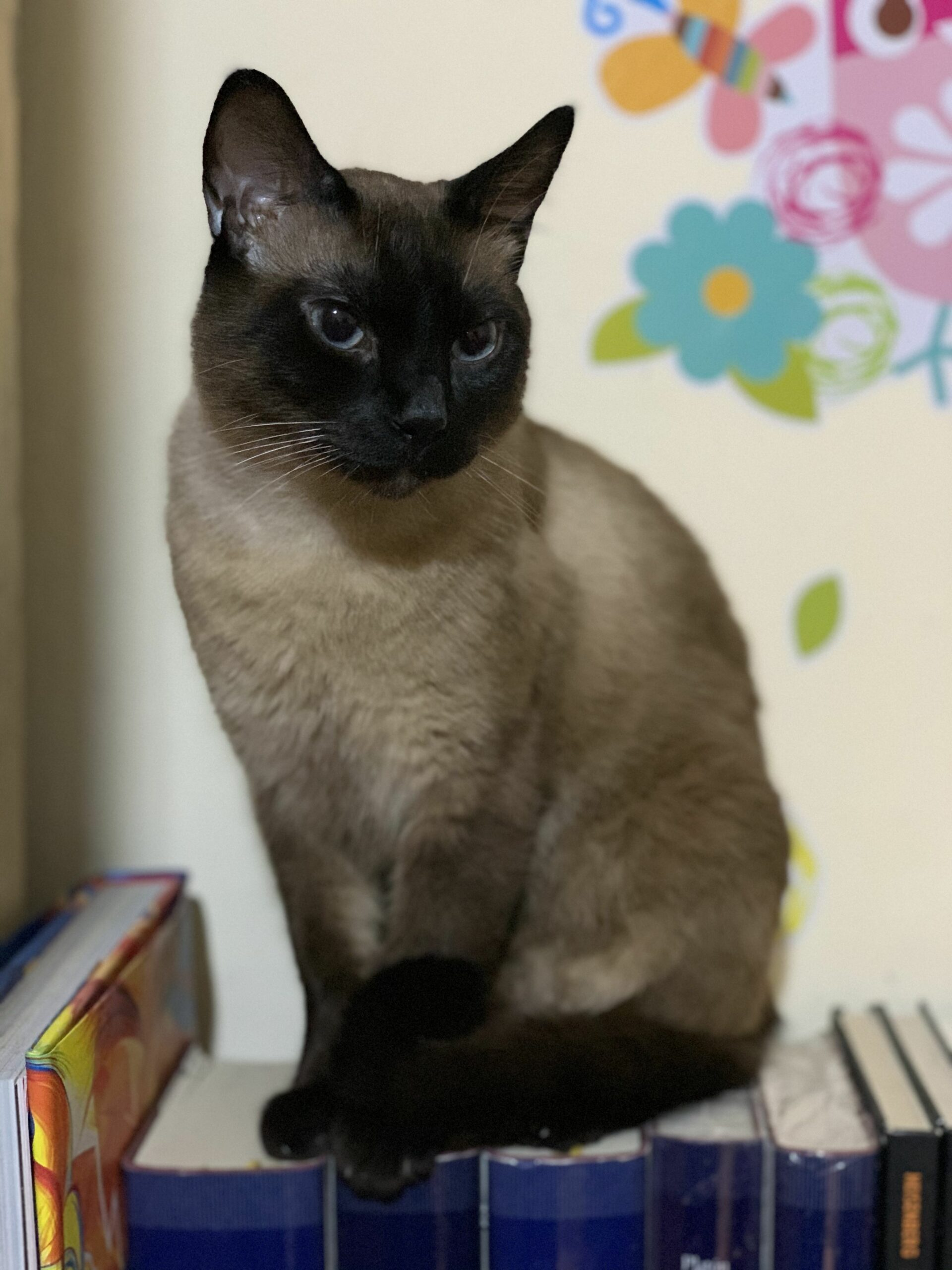 Seal Point Siamese Kittens For Sale Michigan