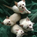 Applehead Siamese Kittens For Sale In Pa