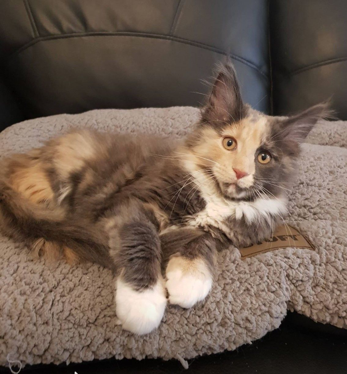 Maine Coon Cats For Sale Wa