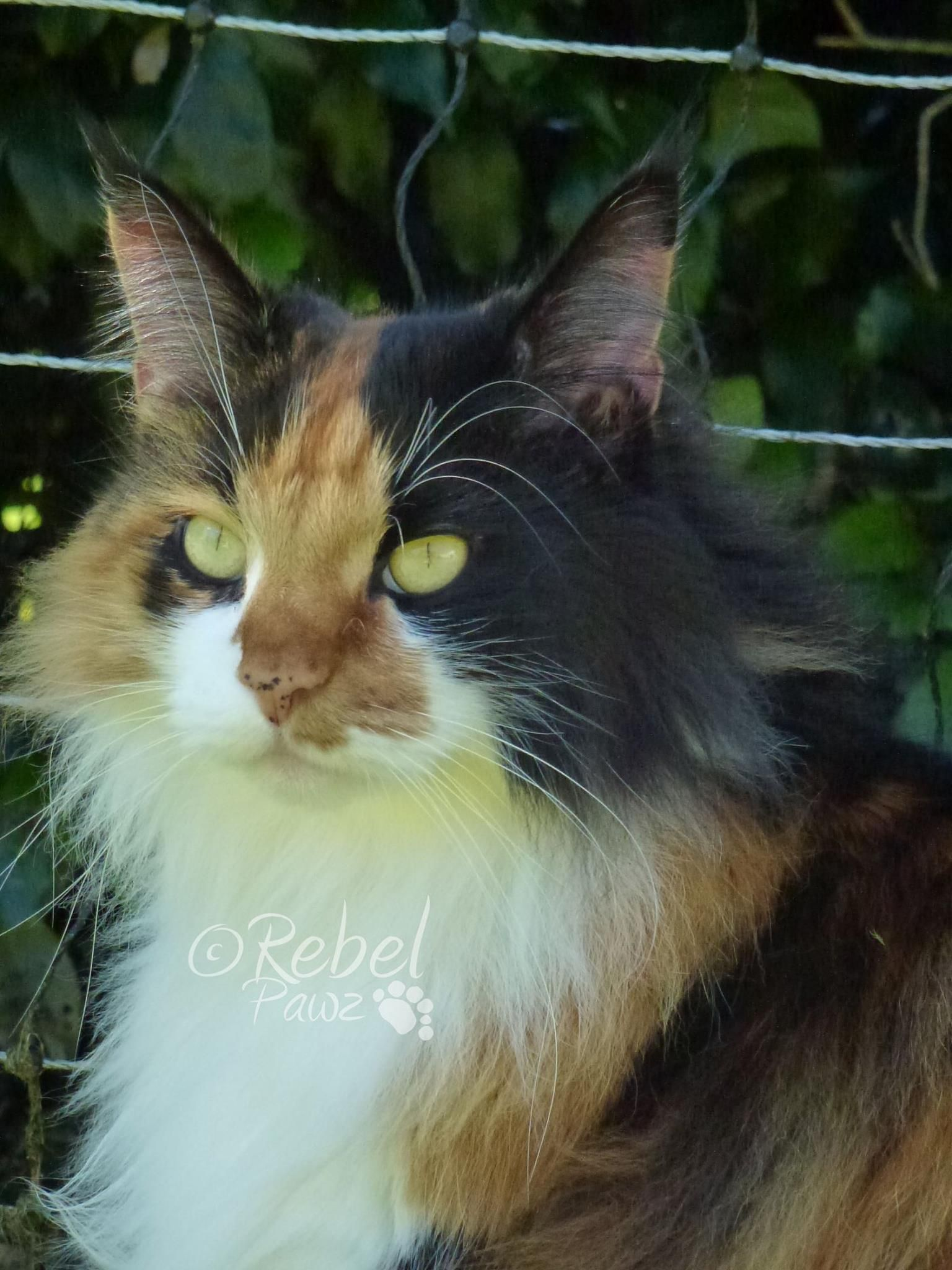 Maine Coon Kittens For Sale Cleveland Ohio