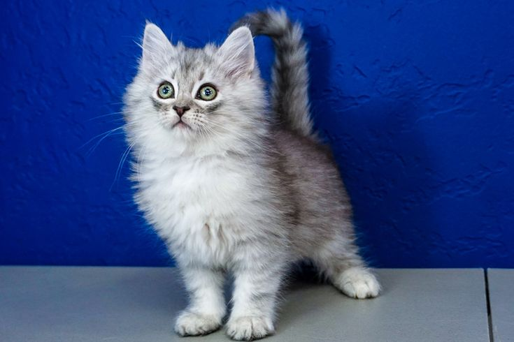 Silver Tabby Cats For Sale Near Me