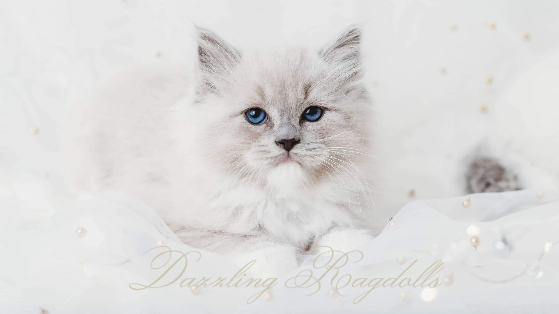 Ragdoll Kittens For Sale In Maryland
