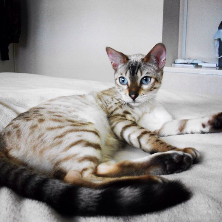 Bengal Cat Kittens For Sale Texas